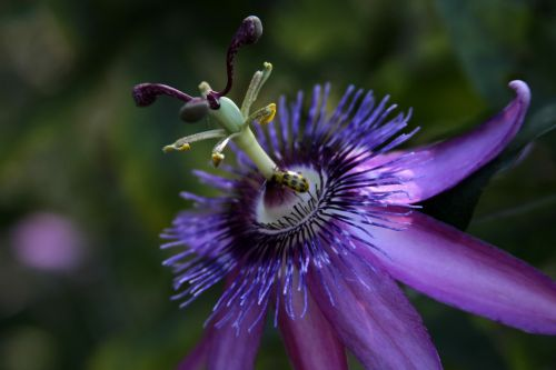 passion vine flower purple