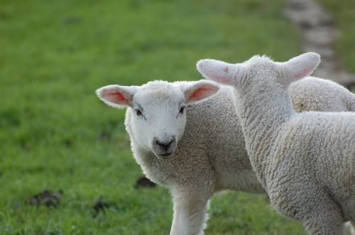 passover schäfchen animal child