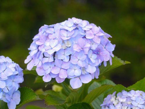 pastel color hydrangea