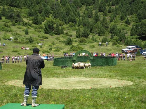 pastor livestock flock
