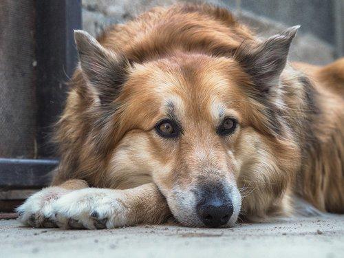 pastor  german  dog