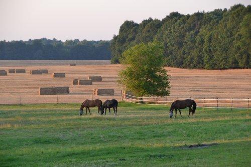 pastoral  horses  hay