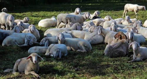 pasture flock of sheep flock