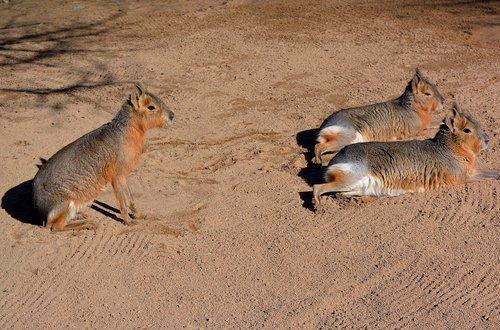 patagonian mara  south america  rodents