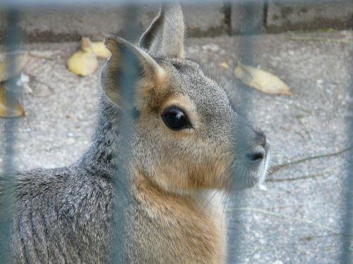 patagonian mara hare cage