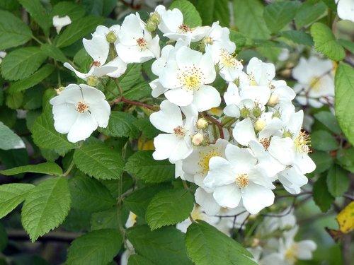 patch of brambles  white flowers  blackberries