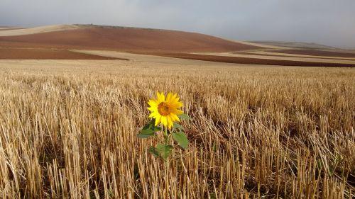 path santiago sunflower