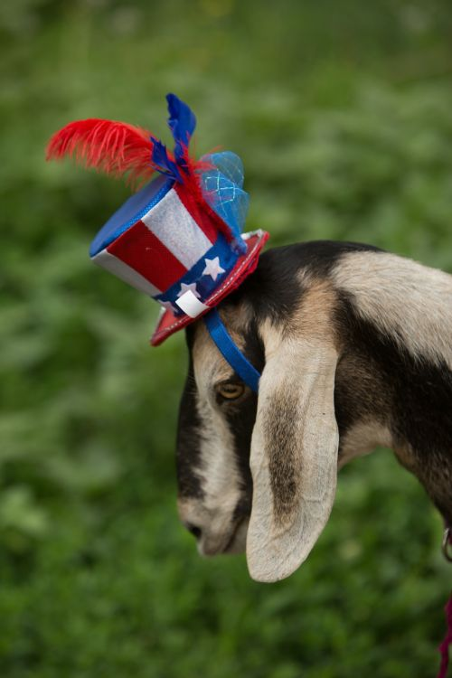 patriotic goat blue