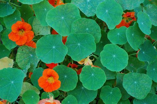 carbine flowers leaves