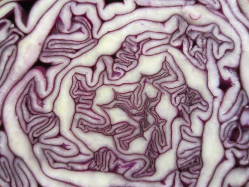 pattern cabbage red cabbage