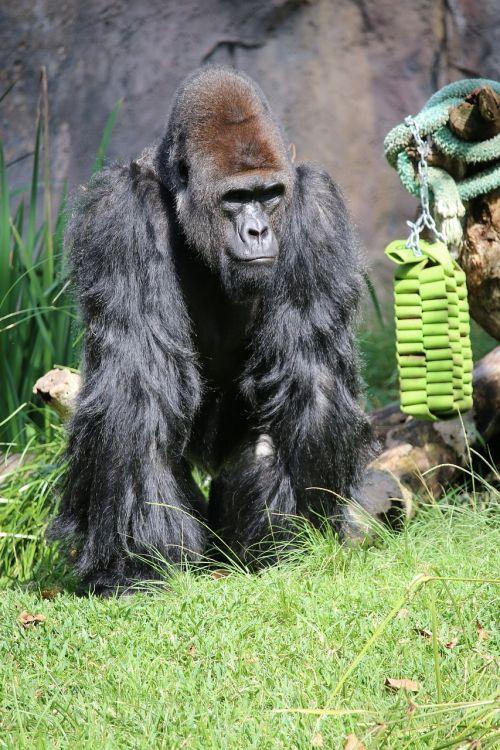 paul gorilla zoo