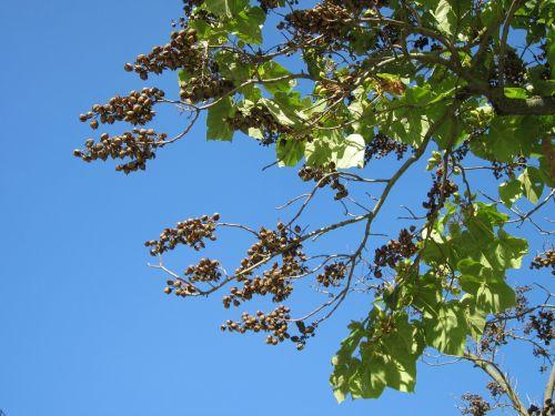 paulownia tomentosa, kunigaikščio medis, princesės medis, lapuočių medis, medis, filialas, flora, botanika, rūšis, lapai, vaisių