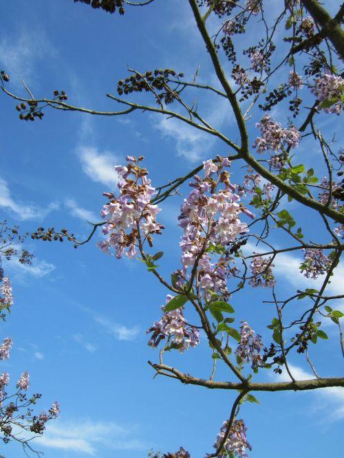 paulownia tomentosa, kunigaikščio medis, princesės medis, lapuočių medis, medis, augalas, flora, botanika, rūšis, žydi