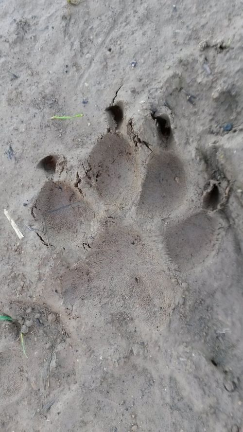 paw reprint traces