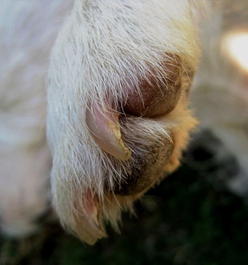 Paw And Nails Of Jack Russell