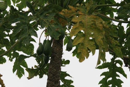 Pawpaws On Pawpaw Tree