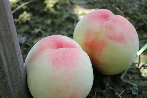 persikas,vaisiai švieži,švieži persikai