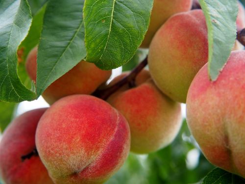 peach peaches fruit