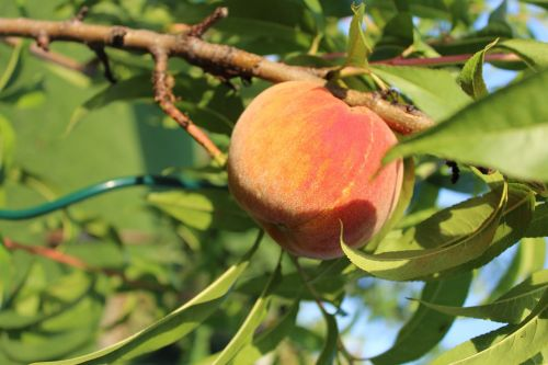 peach the peach tree tree