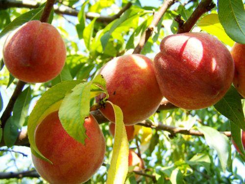 peach ripe fruit yellow-red peach