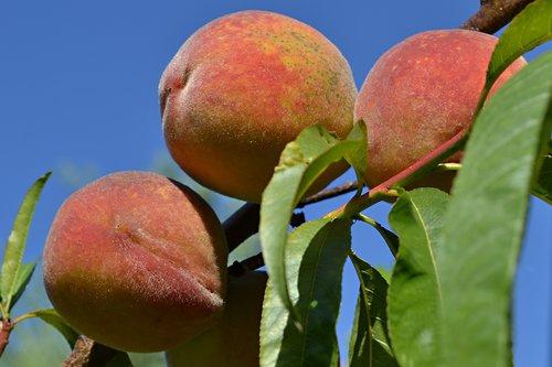 peach  peaches  fruit