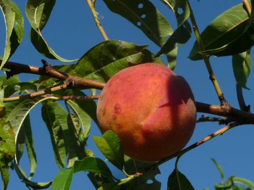 peach fruit peach tree