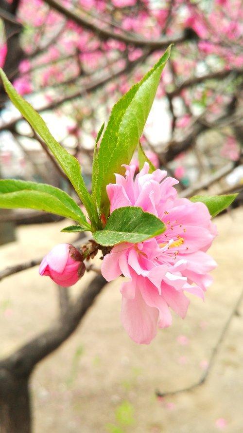 peach  peach blossom  flower