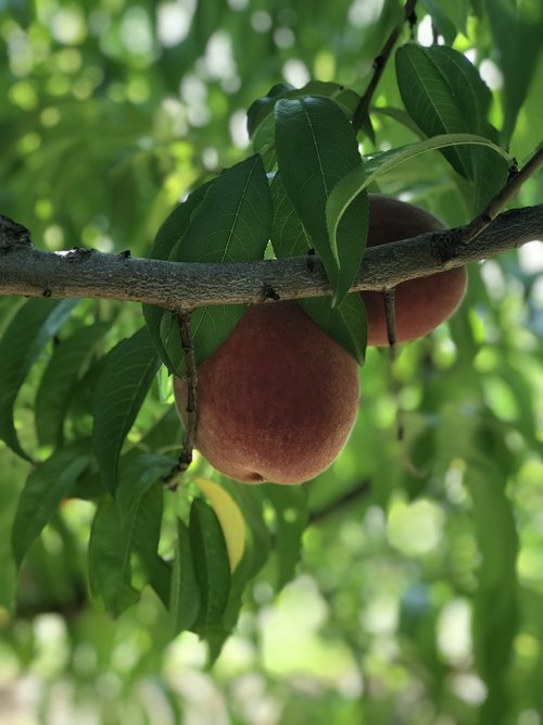 peach  peach tree  fruit