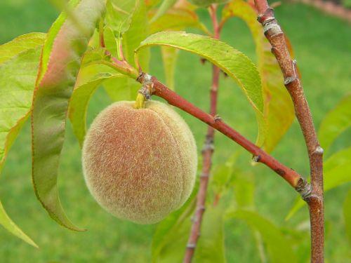 peach fruit home grown