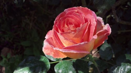 peach blush rose