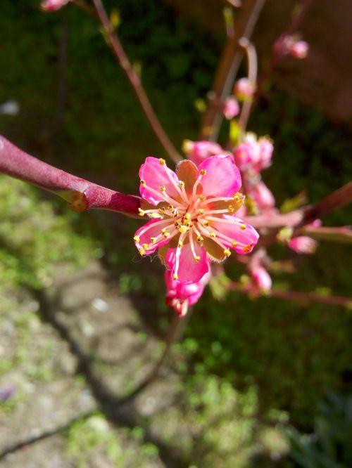 peach flower just opened