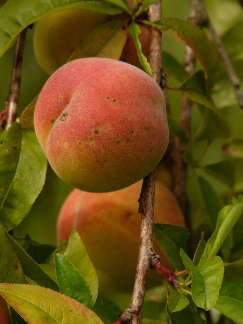peach peach tree malum persicum