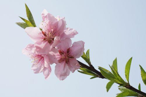 peach blossom pink primary
