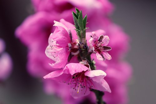 peach blossom  prunus persica  peach tree