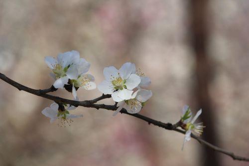 peach blossom peach embankment tianjin hongqiao