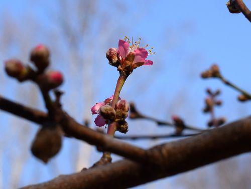 persikų žiedo budas atviras,persikų medis,budas,žiedas,gėlė,žydėti,pavasaris,gamta,rožinis,medis,augalas,sodas