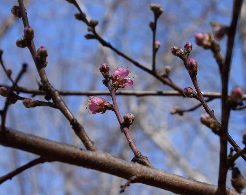 peach blossom buds opening peach tree bud