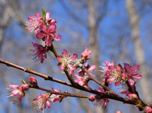 peach blossoms peach tree blossom