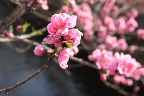 peach blossoms  waterfront 花桃
