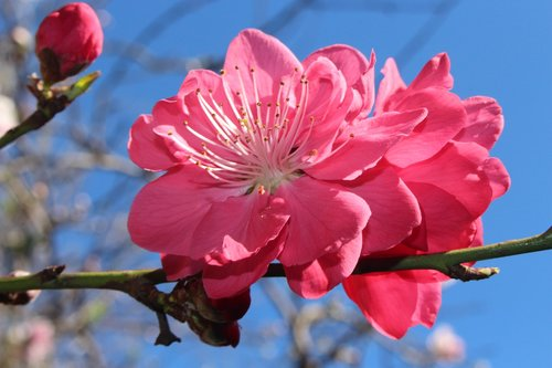 peach blossoms  fruit tree blossoms  ornamental