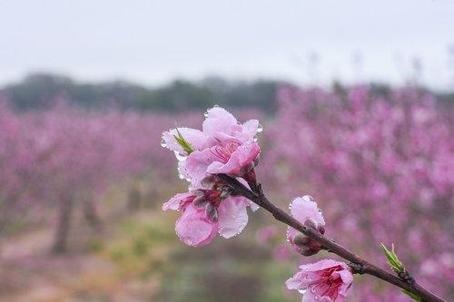 peach flower  peach  flower