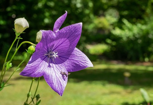 peach leaved bellflower  flower  blossom