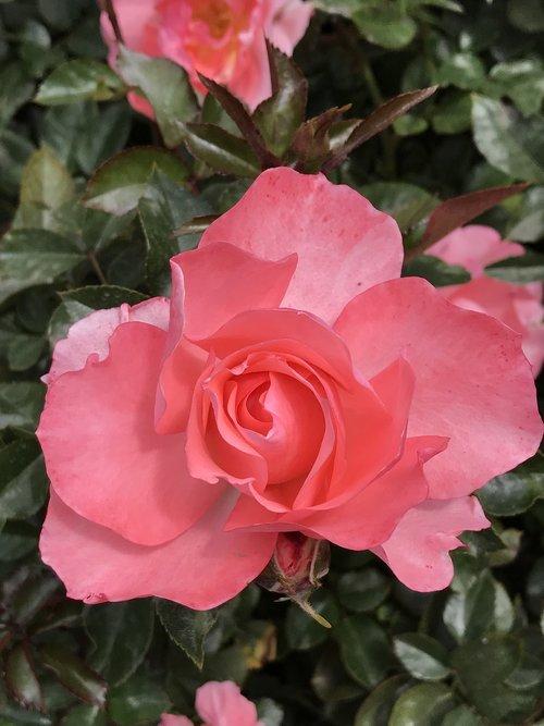 peach pink rose  balboa park  san diego