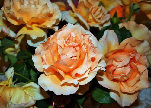 Peach Roses Close