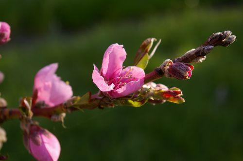 peach tree peach blossom spring
