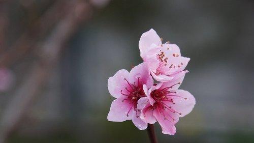 peach tree  spring  pink