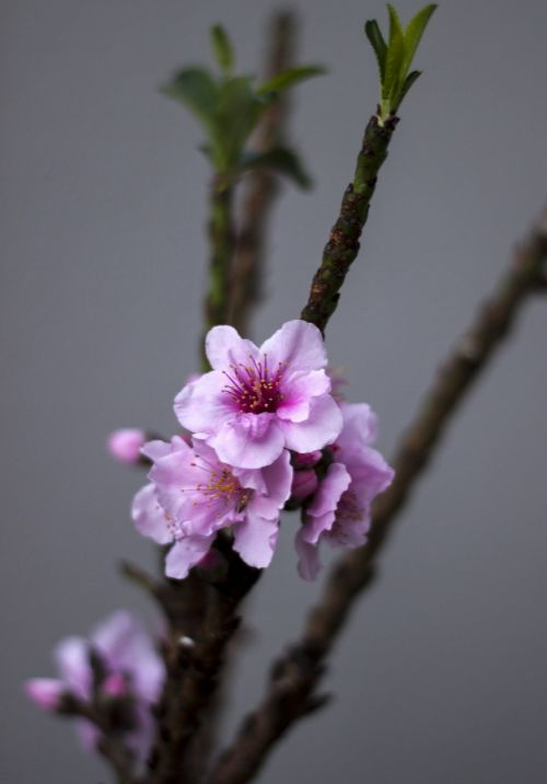 peach tree flowers spring