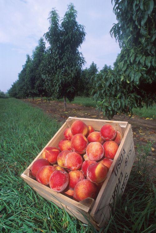 peaches fresh fruit