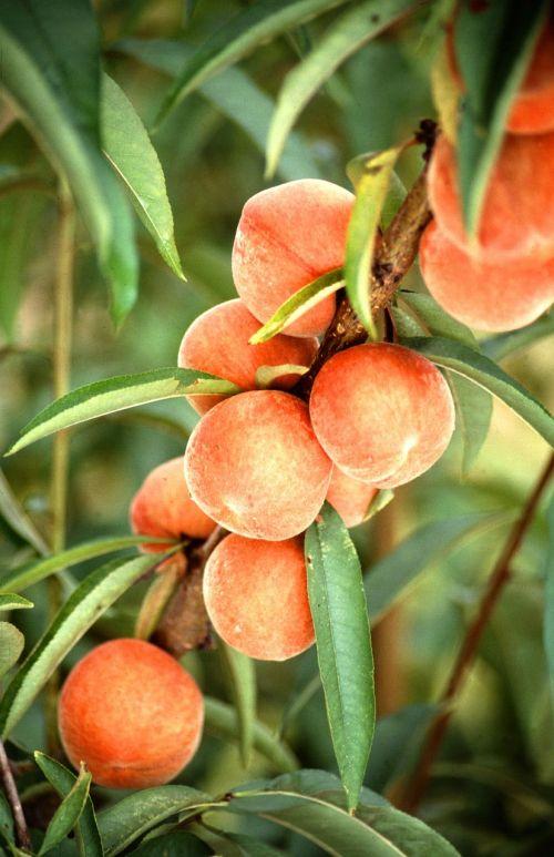 peaches tree fruit
