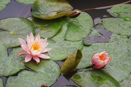 peachy waterlily flower